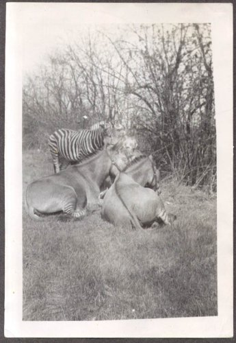 Horses & zebra grazing back lot Christy Bros Circus photo 1930s