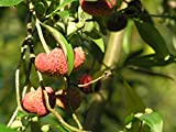 1 oz Seeds (Approx 768 Seeds) of Cornus capitata, Evergreen Dogwood, Bentham s Cornel