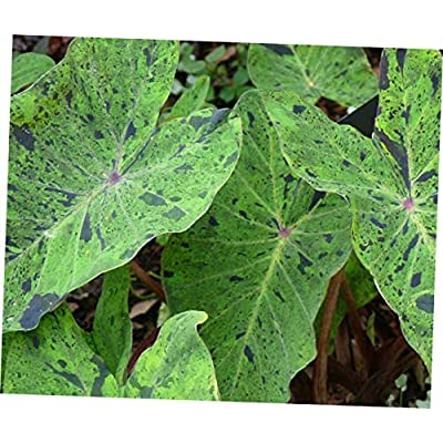 ELLA Plant Elephant Ear - COLOCASIA esculenta 'Mojito' TM Taro Live Plant PPAF - EB154 : Garden & Outdoor