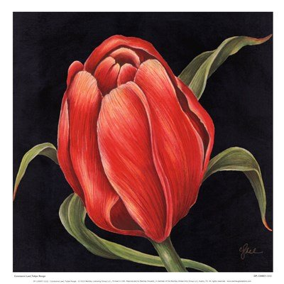 (Tulipe Rouge by Constance Lael - 13x13 Inches - Art Print Poster)