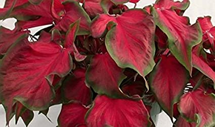 Amazon Com Caladium Red Ruffles Bulbs Excellent For Shady