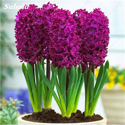 cheap office plants low cheap perfume hyacinth seeds potted plants purify the airoffice desktop decor100 amazoncom