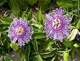 SS0144 MAYPOP PURPLE PASSION FLOWER PLANT PASSIFLORA INCARNATA 4'' Pot Best Gift New Yard