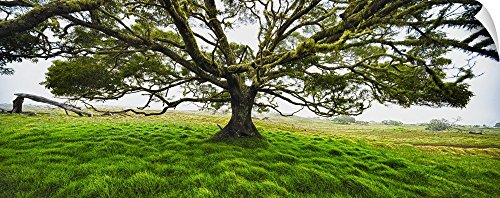 Canvas on Demand Wall Peel Wall Art Print entitled Koa tree panorama Hawaii 60