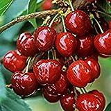 Barbados (Acerola) Cherry Tree