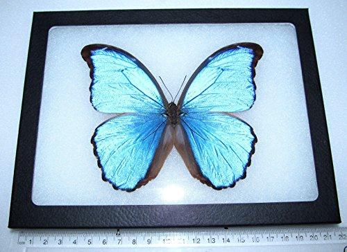 Bicbugs, LLC Real Framed Butterfly Blue Morpho DIDIUS Peru