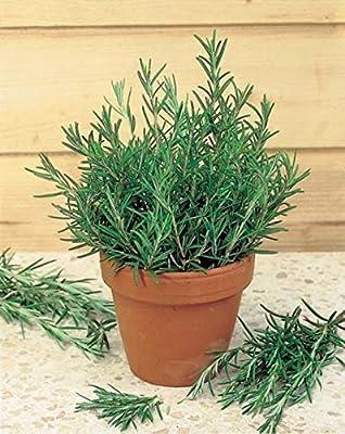 Rosemary Seeds (Rosmarinus officinalis) Russian Heirloom Herb Seed