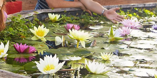 COMBO: 1 Fertilizer + 2 Live Aquatic Plant Nymphaea Peaches & Cream with Peach/Orange Color HARDY Water Lily TUBER for Aquarium Freshwater Fish Pond by JustNature by JustNature (Image #3)