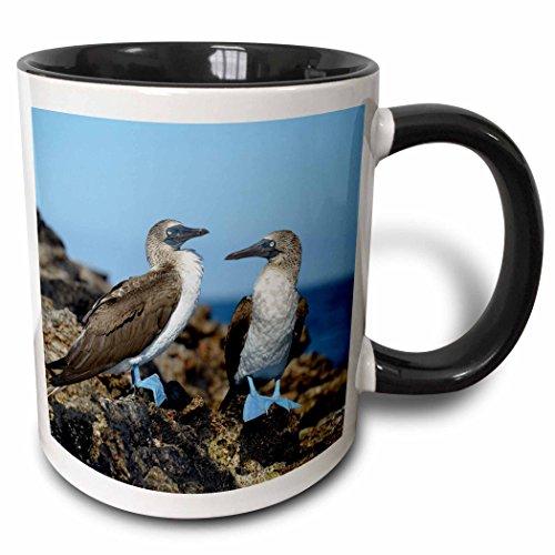 3dRose Danita Delimont - Birds - Ecuador, Galapagos Islands, Isabela Island. Blue-footed Booby. - 15oz Two-Tone Black Mug -
