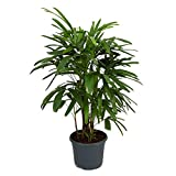 "AMERICAN PLANT EXCHANGE Lady Palm Rhapis Excelsa Indoor/Outdoor Air Purifier Live Plant, 6"" Pot"