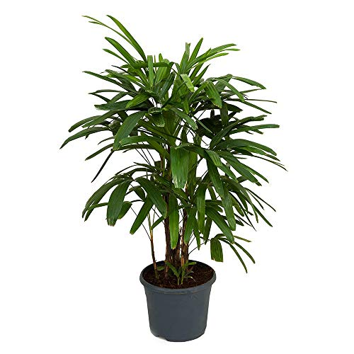 4' Palm Green - AMERICAN PLANT EXCHANGE Lady Palm Rhapis Excelsa Indoor/Outdoor Air Purifier Live Plant, 6