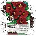Seed Needs, Black Velvet Nasturtium (Tropaeolum minus) 110 Seeds