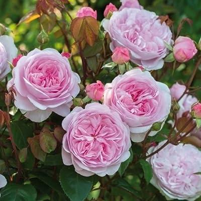 David Austin English Roses Olivia Rose Austin – New for 2016 : Garden & Outdoor