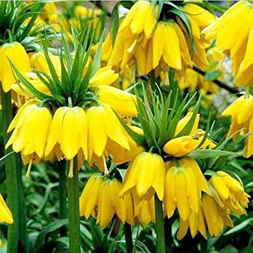 (100pcs Yellow Imperial Crown Fritillaria Flower Plant Seeds Bulbs Garden Decor )