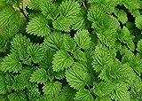 Peppermint Seeds (200 seeds) organic Mentha balsamea tea