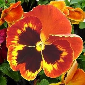 Pansy Giant Flame Flower Seeds (Viola x Wittrockiana) 50+Seeds