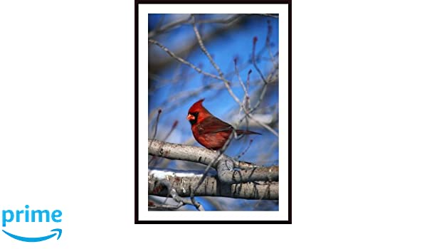Printfinders Male Northern Cardinal Bird Artwork by David Spier