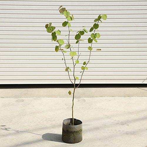 庭木:マルバノキ(紅マンサク)  樹高:約120cm 全高:約140cm B00GYRY8HO