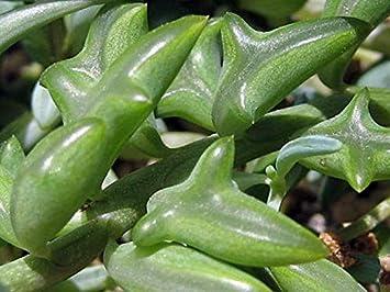 "Rare - String of Dolphins Succulent - Senecio peregrinus -Easy to Grow- 2.5"" Pot"
