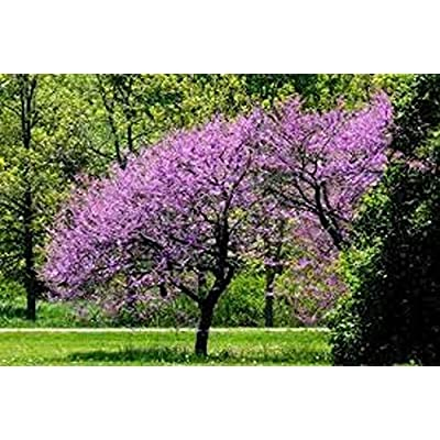 Redbud Tree Seeds 10 Fresh Seed : Garden & Outdoor