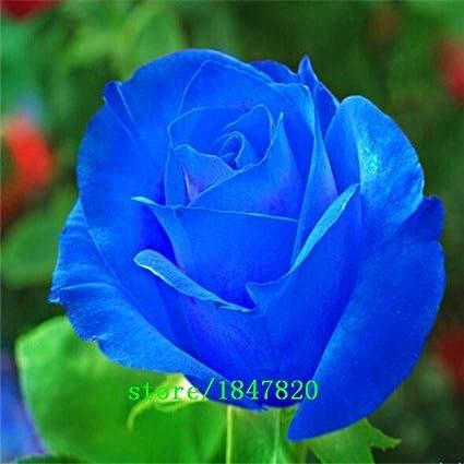Amazon Com Free Shipping 50 Blue Dragon Rose Seeds Rare Beautiful