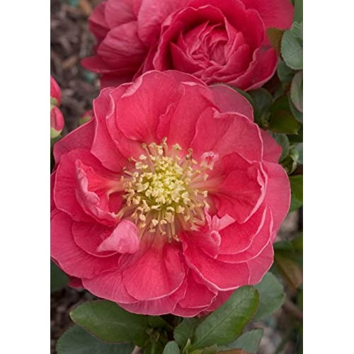 Discount 'Double Take Pink Storm' Flowering Quince – Chaenomeles – Hardy - Perennial - Quart Container - Healthy - 1 Plant by Growers Solution