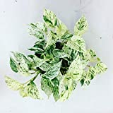 AMERICAN PLANT EXCHANGE Marble Queen Pothos