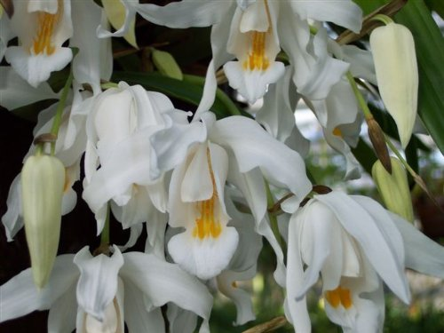1 blühfähige Orchidee der Sorte: Coelogyne cristata, 14cm Topf