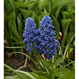 25 Bulbs of Muscari armeniacum Fantasy Creation