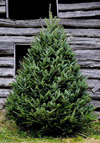 Amazon.com: Hallmark Real Christmas Tree, Fraser Fir, 6 Foot To 7 Foot, No  Stand and Fraser Fir Wreath: Garden & Outdoor - Amazon.com: Hallmark Real Christmas Tree, Fraser Fir, 6 Foot To 7