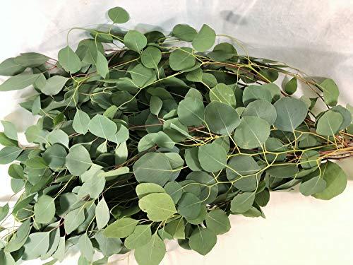 FRESH CUT EUCALYPTUS Silver Dollar - Greens Foliage - Wedding DIY Bulk Event Flowers (3 Bunches (27-30 stems))