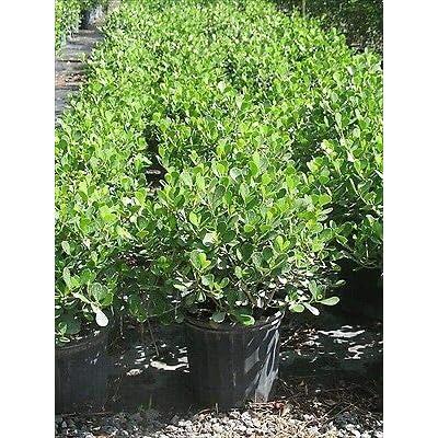 Clusia rosea 'Nana', Dwarf Pitch Apple - 7 Gallon Live Plant : Garden & Outdoor