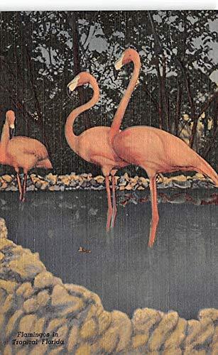 Flamingos Florida Wild Animal Ranch St Petersburg, Florida, USA Unused
