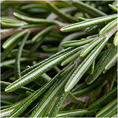 Seed Needs, Rosemary Culinary Herb (Rosemarinus officinalis) Twin Pack of 100 Seeds Each Non-GMO : Herb Plants : Garden & Outdoor