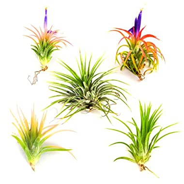 Air Plants - Tillandsia Ionantha - 5 Air Plants at a Great Price! - Free PDF Air Plant Care eBook with Every Order - 5 Pack Air Plant Variety - Fast Priority Mail Shipping from Florida