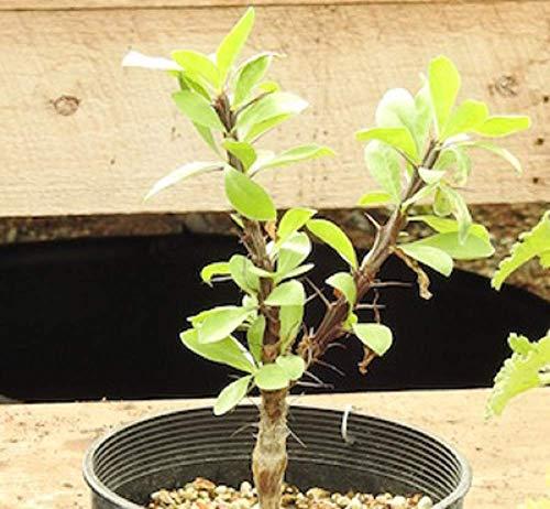 David's Garden Seeds Succulent Ocotillo SL5283 (Green) 10 Non-GMO, Open Pollinated Seeds