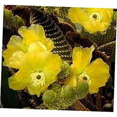 TEE 1 Bare Root Cactus Plant. Medium Golden Angel Wing Cactus. Also Called Golden Bunny Ear Cactus - RK69 : Garden & Outdoor