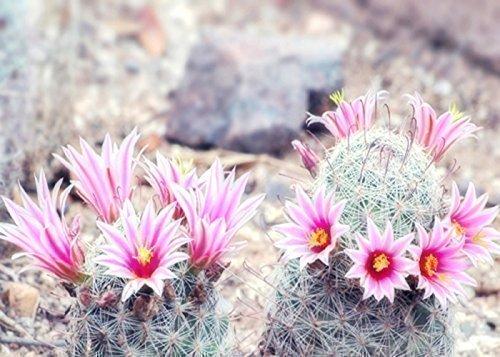 Amazon pink cactus flower print desert flower photography pink cactus flower print desert flower photography arizona cactus art mightylinksfo