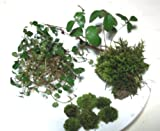 Live Fairy Garden Assortment for Terrariums - Tree Moss, Small Cushions, Partridge Vines, Teaberry Plants