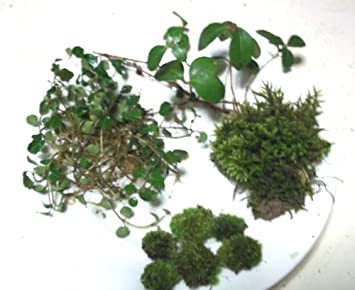 Live Fairy Garden Assortment For Terrariums   Tree Moss, Small Cushions,  Partridge Vines,