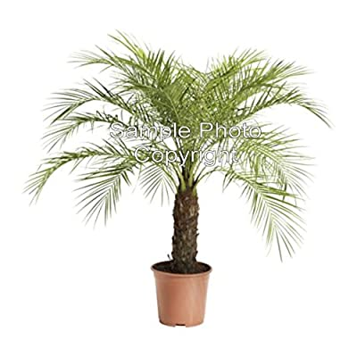 Phoenix roebelinii 5 seeds Baby Date Palm Houseplant Beauty! Small and Compact Container Gardening Can Be grown Outdoors in Warm Climates