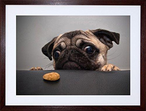 9x7 '' ANIMAL PHOTO PUG DOG TREAT FOOD EYES CUTE FRAMED ART PRINT F97X185
