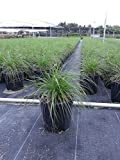 Pennisetum setaceum 'Alba', Fountain Grass 'White' - 1 Gallon - 4 Pack Live Plant