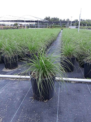 Pennisetum setaceum 'Alba', Fountain Grass 'White' - 1 Gallon - 4 Pack Live Plant by PlantVine