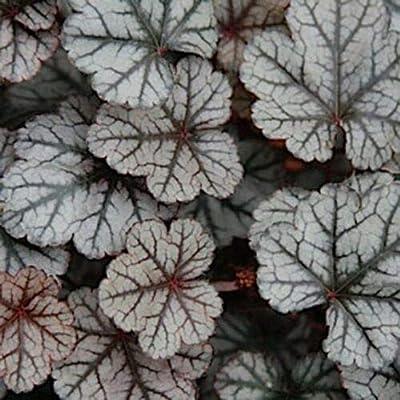"AchmadAnam - Live Plant - 10 Heuchera ' Silver Scrolls"" - Coral Bells - Alumroot - Perennial : Garden & Outdoor"