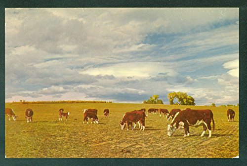 Herefords at Home on the Range Cows Heifer Cattle Grazing - Cow Postcard