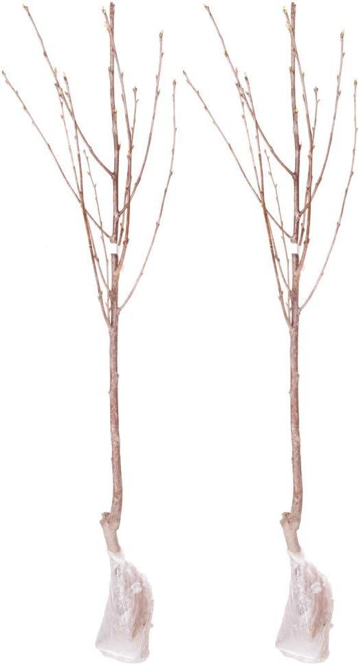 Pair Stella Cherry Bare Root Trees