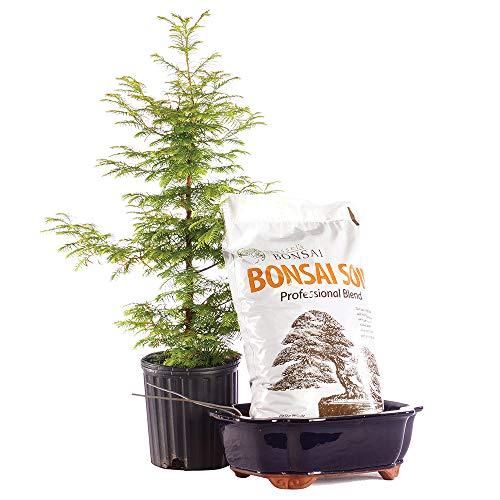 - Brussel's Bonsai Live Dawn Redwood Outdoor Bonsai Tree PIY Bundle - 5 Years Old 16