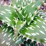 """Aloe jucunda, African Aloe, Succulent House Plant, Rare Cactus Succulent, Spotted Aloe, 4"""" Pot Size"""