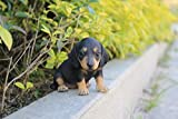 Hi-Line Gift Ltd. Pet Pals-Dachshund Puppy